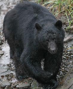 Black Bear-8686