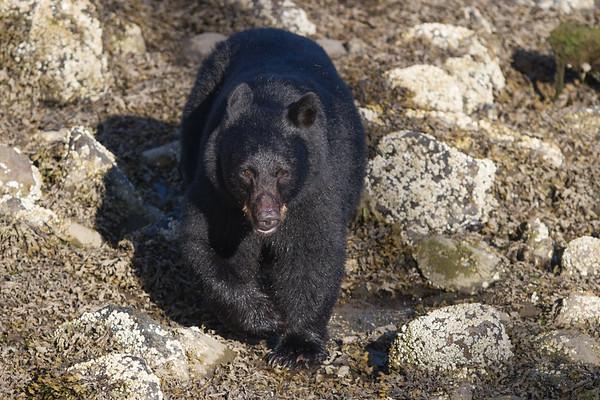 Black Bear-4352
