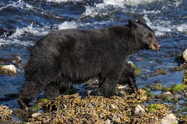 Black Bear-4292