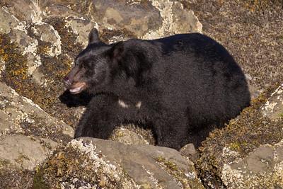 Black Bear-1751