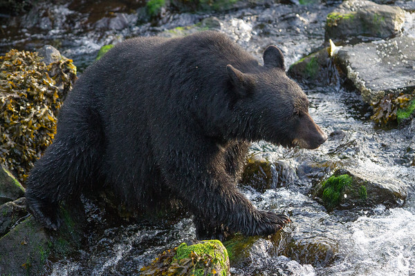 Black Bear-6948