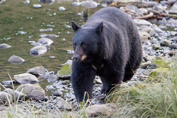 Black Bear-6151