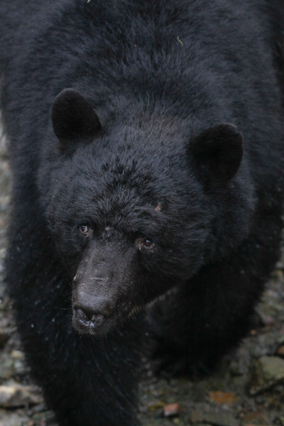 Black Bear-8713