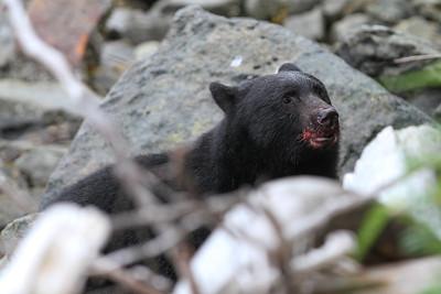 Black Bear-8394