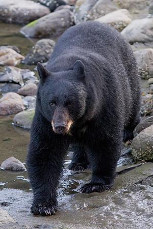 Black Bear-6157