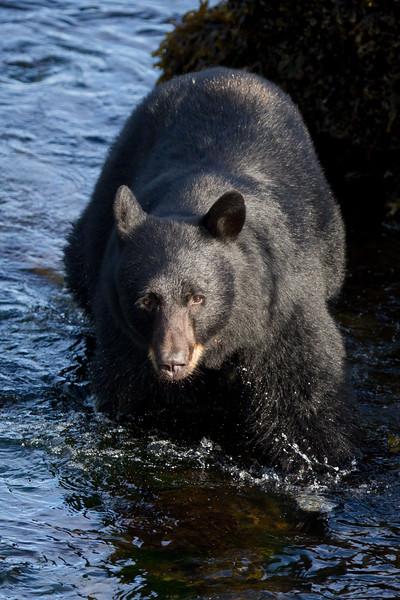Black Bear-4791