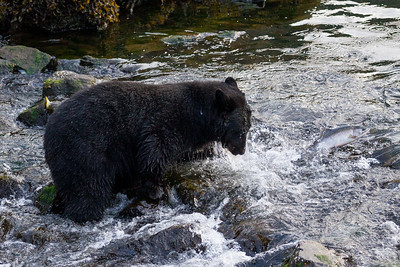 Black Bear-2005