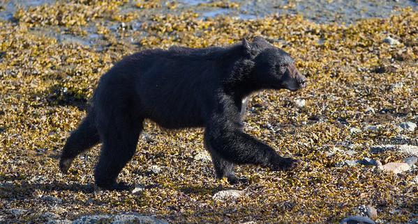 Black Bear-4408