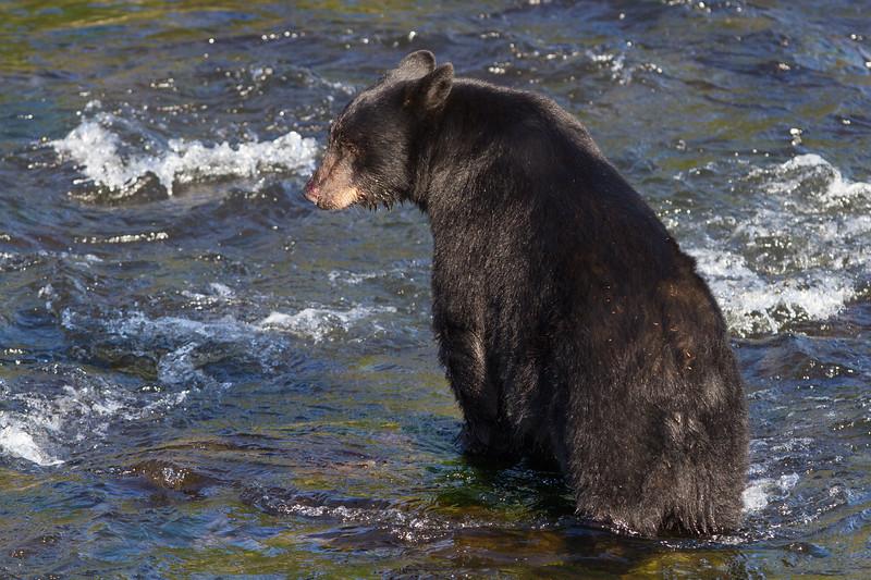 Black Bear-4286