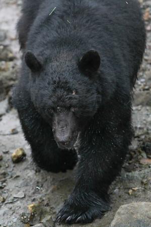 Black Bear-8692