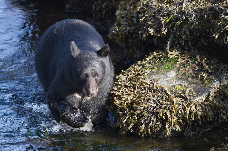 Black Bear-4796