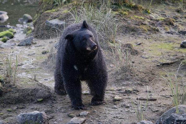 Black Bear-6920