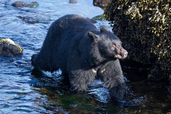 Black Bear-4784