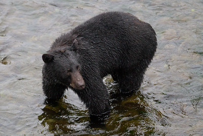 Black Bear-1919