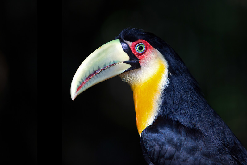Red-breasted Toucan (Ramphastos dicolorus) - Iguaçu National Park, Brazil