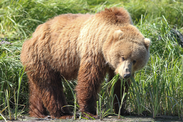 Kodiak Brown Bear-3892