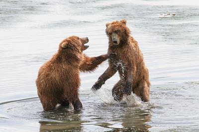 Kodiak Brown Bear-2939