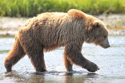 Kodiak Brown Bear-3772