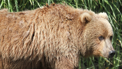 Kodiak Brown Bear-3600