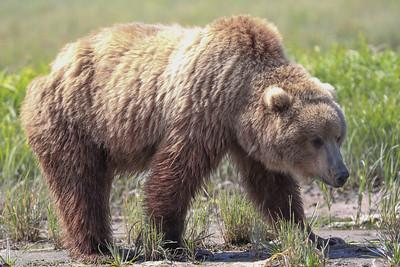 Kodiak Brown Bear-3813