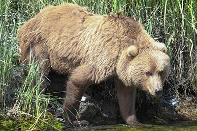 Kodiak Brown Bear-3591