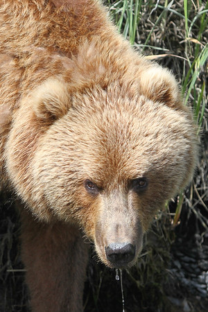 Kodiak Brown Bear-3587