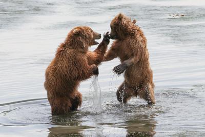 Kodiak Brown Bear-2941