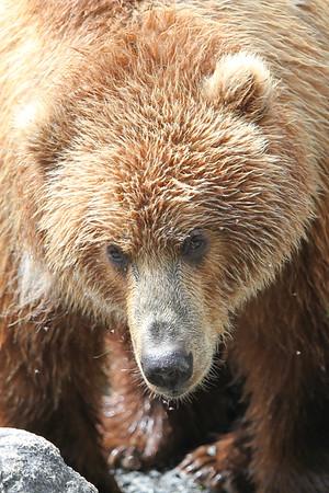 Kodiak Brown Bear-3197