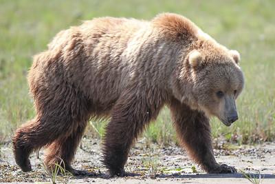 Kodiak Brown Bear-3778