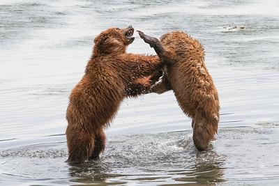 Kodiak Brown Bear-2945