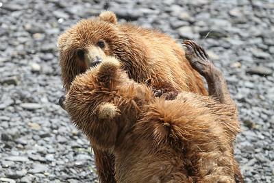 Kodiak Brown Bear-3146