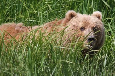 Kodiak Brown Bear-3570