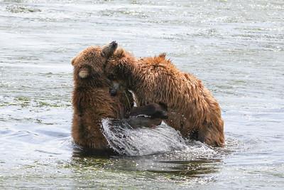 Kodiak Brown Bear-3055