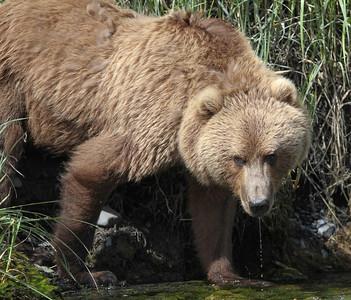 Kodiak Brown Bear-3586