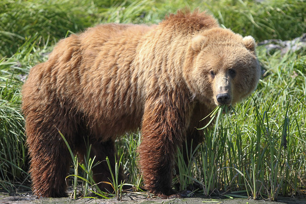 Kodiak Brown Bear-3901