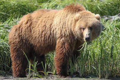 Kodiak Brown Bear-3901