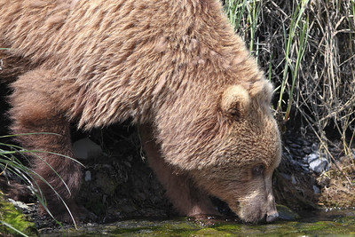 Kodiak Brown Bear-3584