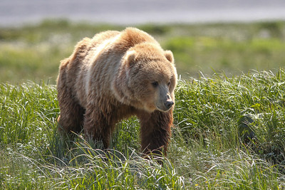 Kodiak Brown Bear-3723