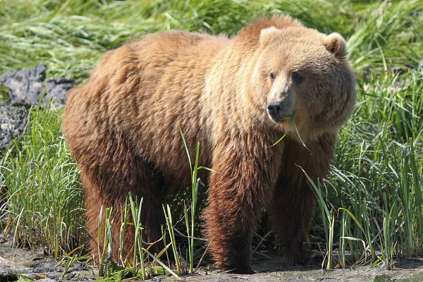 Kodiak Brown Bear-3875