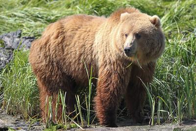 Kodiak Brown Bear-3875