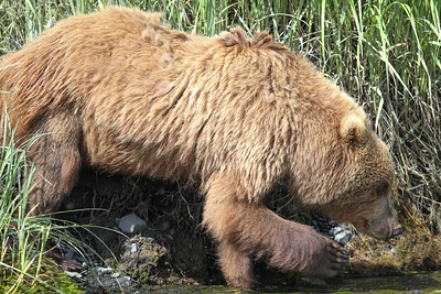 Kodiak Brown Bear-3597