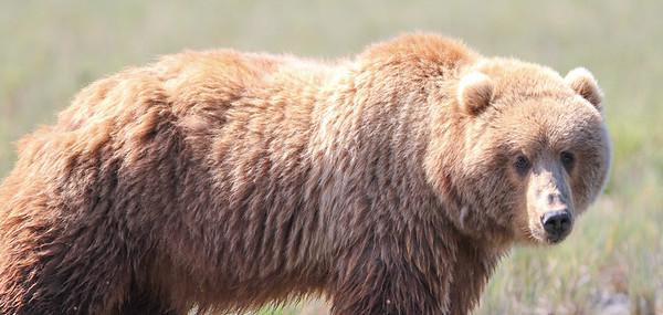 Kodiak Brown Bear-3808