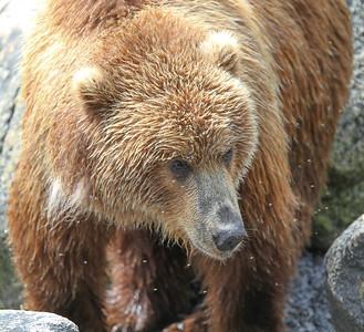 Kodiak Brown Bear-3191