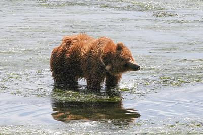 Kodiak Brown Bear-3036