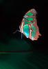 Malachite butterfly (Siproeta stelenes) - Corcovado National Park, Costa Rica