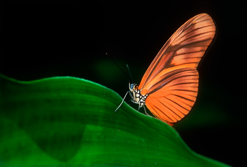 Julia butterfly (Dryas iulia) - Manuel Antonio National Park, Costa Rica
