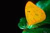 Sulphur butterfly (phoebis sennae) - Corcovado National Park, Costa Rica