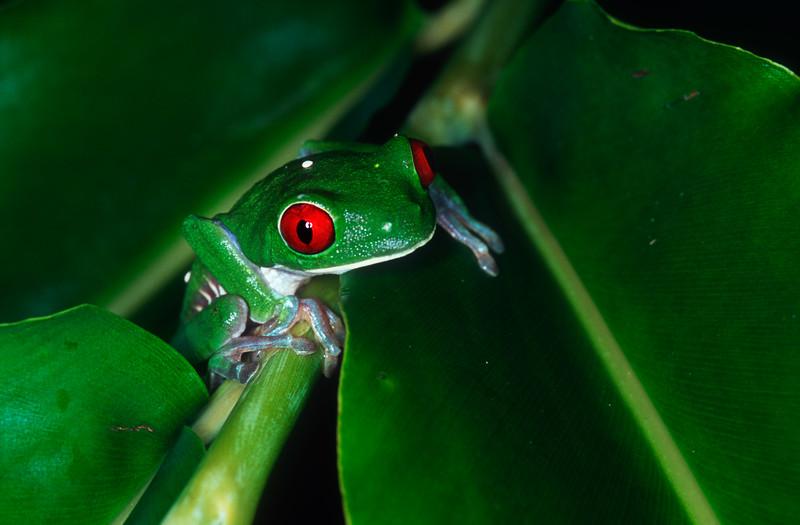 Red-eyed leaf frog (Agalychnis callidryas) - Corcovado National Park, Costa Rica