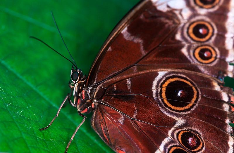 Blue Morpho butterfly (Morpho peleides) - Corcovado National Park, Costa Rica