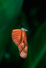 Julia butterfly (Dryas iulia) caught in a spider's web - Manuel Antonio National Park, Costa Rica
